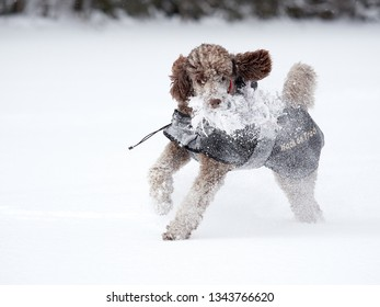 Standard poodle running and enjoying the snow on a beautiful winter day. Playful dog in action with a toy on a snowy field in Finland. Active lifestyle in concept.