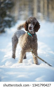 Standard poodle standing in the snow on a beautiful winter day. Playful dog iwith a toy in a snowy forest in Finland. Active lifestyle in concept.