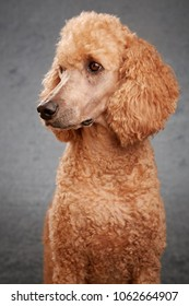 Standard poodle in studio with grey background