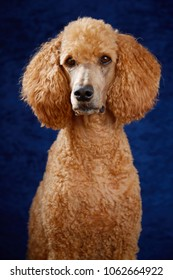 Standard poodle in studio portrait with blue background