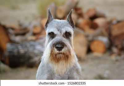 Standard Schnauzer dog portrait in the field