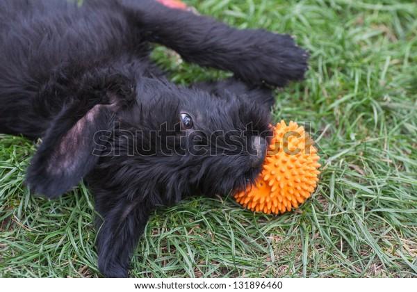 standard schnauzer puppies child in the garden