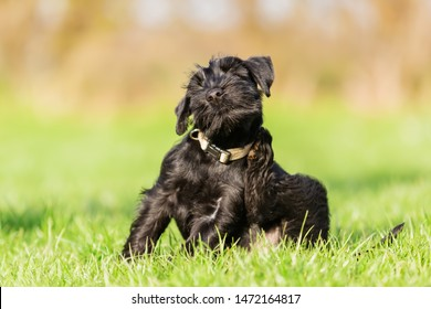 standard schnauzer puppy sits on the meadow and scratches himself behind the ear