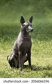 Standart size Xoloitzcuintli or Mexican Hairless Dog sitting on a green grass background