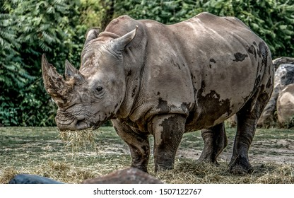 A standing adult African white rhino (or square-lipped rhinoceros), the largest and most social of all rhino species.