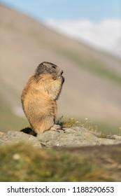 standing alpine marmot, funny alpine marmot, portrait of marmot