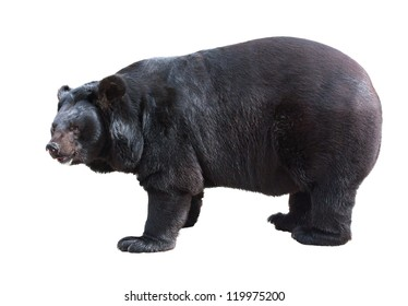 Standing Asiatic Black Bear (Tibetan black bear, Himalayan black bear, moon bear) isolated on white