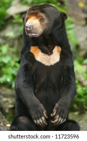 A standing bear from Malaysian