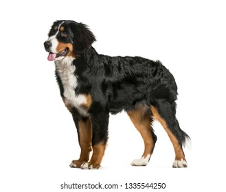 Standing Bernese Mountain Dog, 6 months old, in front of white background