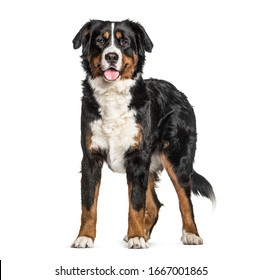 Standing Bernese Mountain Dog panting, isolated on white