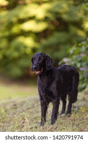 Standing black flat coated retriever portrait vertical looking to the side  with green background, in the park, tongue sticking out