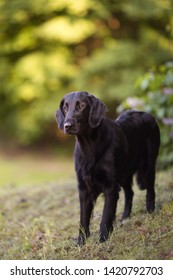 Standing black flat coated retriever portrait horizontal looking to the side with green background, in the park