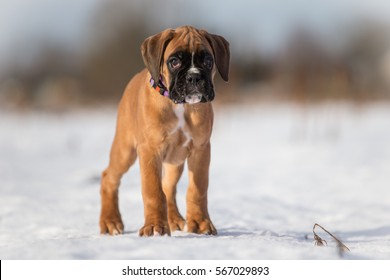 Standing boxer puppy from front