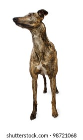Standing Brindle Colored Greyhound Isolated on White Background