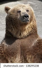 Standing brown bear (Ursus arctos arctos).