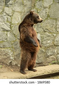 Standing brown bear in the zoo