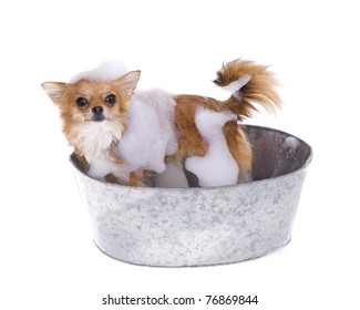 Standing Up Brown chihuahua puppy dog inside of a gray metal bath tub with soap suds on body getting clean, ready to jump out, isolated on white background.