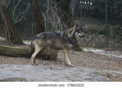 Standing brown and grey wolf.