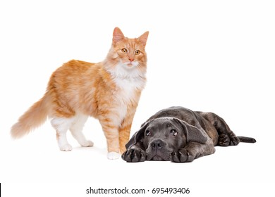 standing cat and a dog laying on front in front of a white background