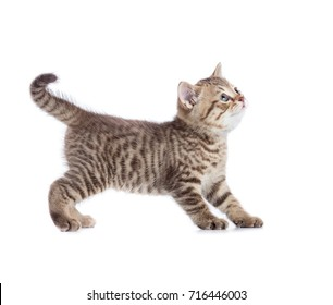 Standing cat looking up side view isolated