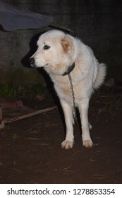 Standing chained maremma sheepdog