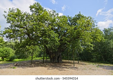 Standing in a clearing is the Major Oak, an ancient tree in Sherwood Forest. Although it is held up with steel props and ropes it still produces beautiful foliage every year.
