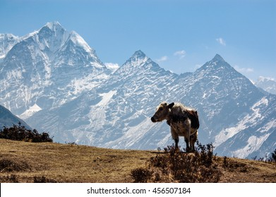 A standing cow with high mountain and blue sky on the acclimatization route at Namche Bazaar in everest region of Nepal.
