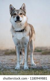 Standing czechoslovak wolfdog