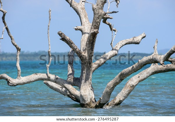 Standing dead trees that died after sea level rise from global warming.