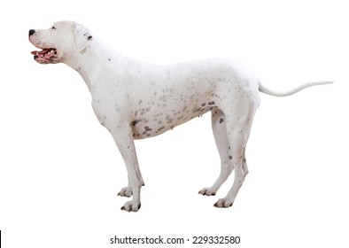 Standing dogo Argentino. Isolated on white background