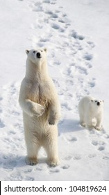 Standing female polar bear with cub