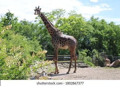 Standing giraffe at the zoo - Pittsburgh, Pennsylvania, June 7, 2020