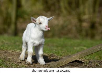a standing goat kids