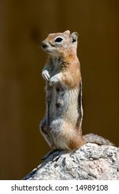 Standing Golden Mantled Ground Squirrel