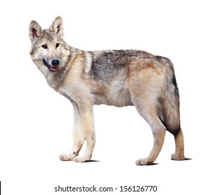 Standing gray wolf. Isolated over white background with shade