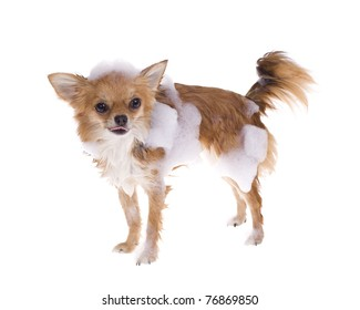 Standing, isolated, chihuahua puppy dog covered in bath suds with tongue sticking out, isolated on white background.