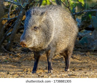Standing Javelina in South Texas