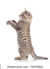 Standing kitten cat side view isolated over white background