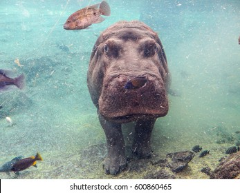 Standing large grey pygmy hippopotamus underwater stared straight. Swimming with others fishes in a murky water during a clear morning in a parc