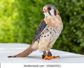 Standing male American kestrel or falcon (Falco sparverius) with a green background looking to the left