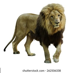 Standing male lion. Isolated  on white background