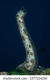 Standing Marbled Sea Cucumber, Bohadschia graeffe ejecting organs for self defense