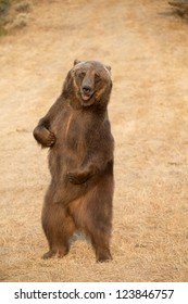 Standing North American Brown bear