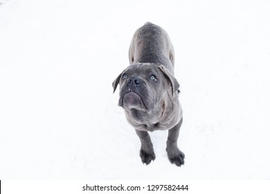 Standing outdoor in winter dog gray cane corso puppy six month