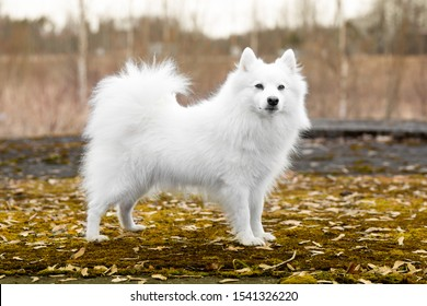 Standing portrait of purebred cute charming white japanese spitz female with golden yellow autumn leafs background. Smiling fur fluffy family pet spitz smiling outdoors on foggy autumn day
