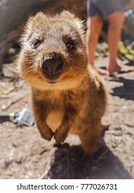 Standing Quokka Rottnest Island, Australia
