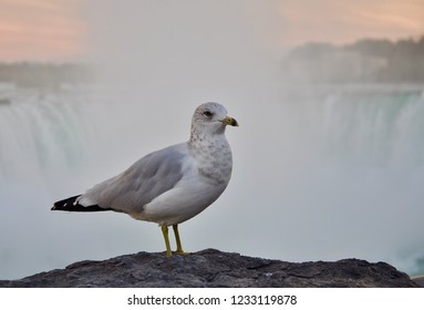 Standing sea gull in a rock in  front of Niagara Falls, Canada