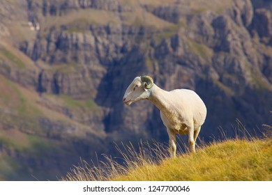 Standing sheep with rocky background