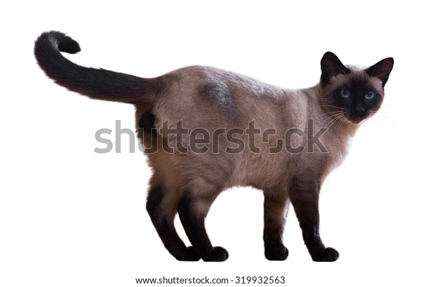 Standing Siamese cat, isolated on white background