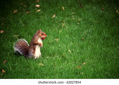 A standing squirrel holding a nut in its mouth, surrounded by lush green grass.